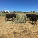 We ultilise A.I. and E.T. programs in our Wagyu cows