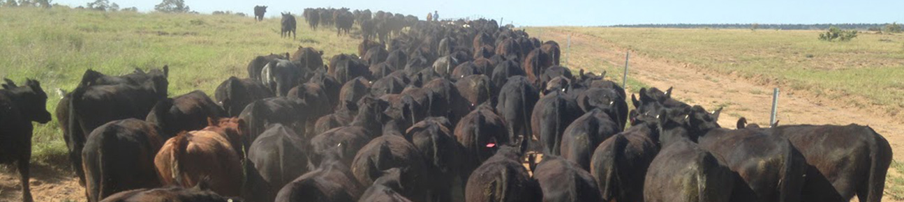 cattle-for-sale